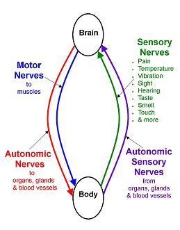 Brain body communication